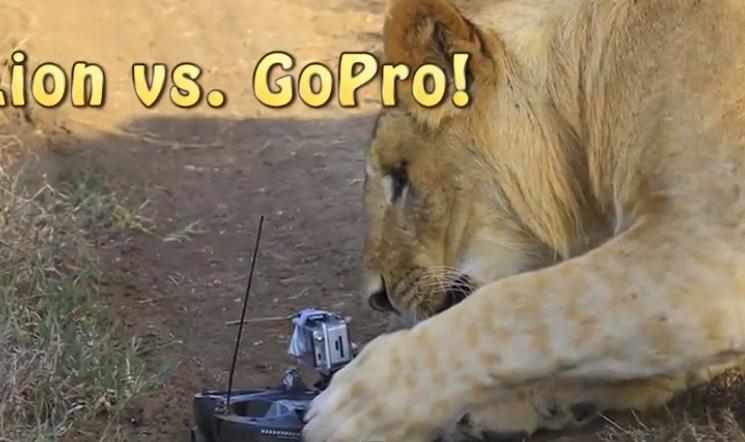 Lion-vs.-GoPro.png