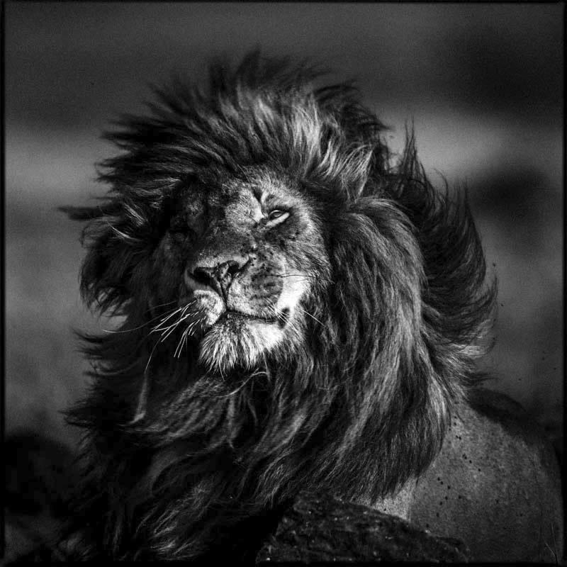 laurent baheux habille en noir et blanc la majestueuse faune africaine lense. Black Bedroom Furniture Sets. Home Design Ideas
