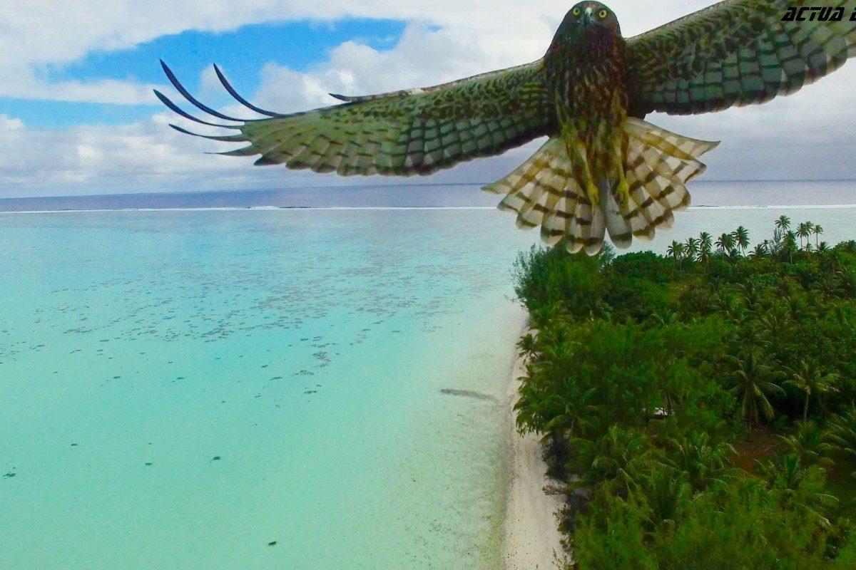 Bird attack in French Polynesia - © Actua Drone