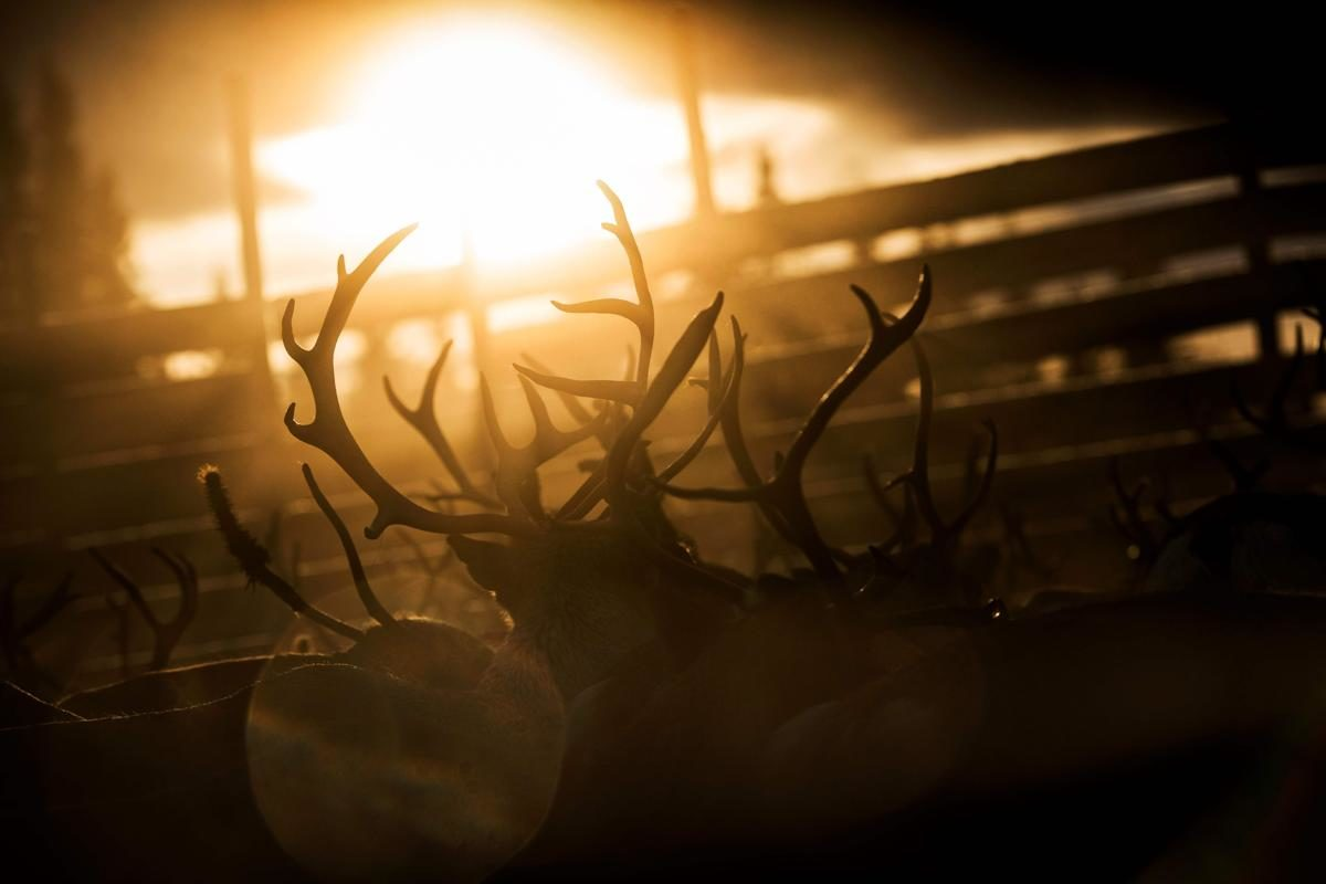 Elevage de rennes, Vilhelmina Nord Sami, Suède - © Jonathan Nackstrand/AFP/Getty Images