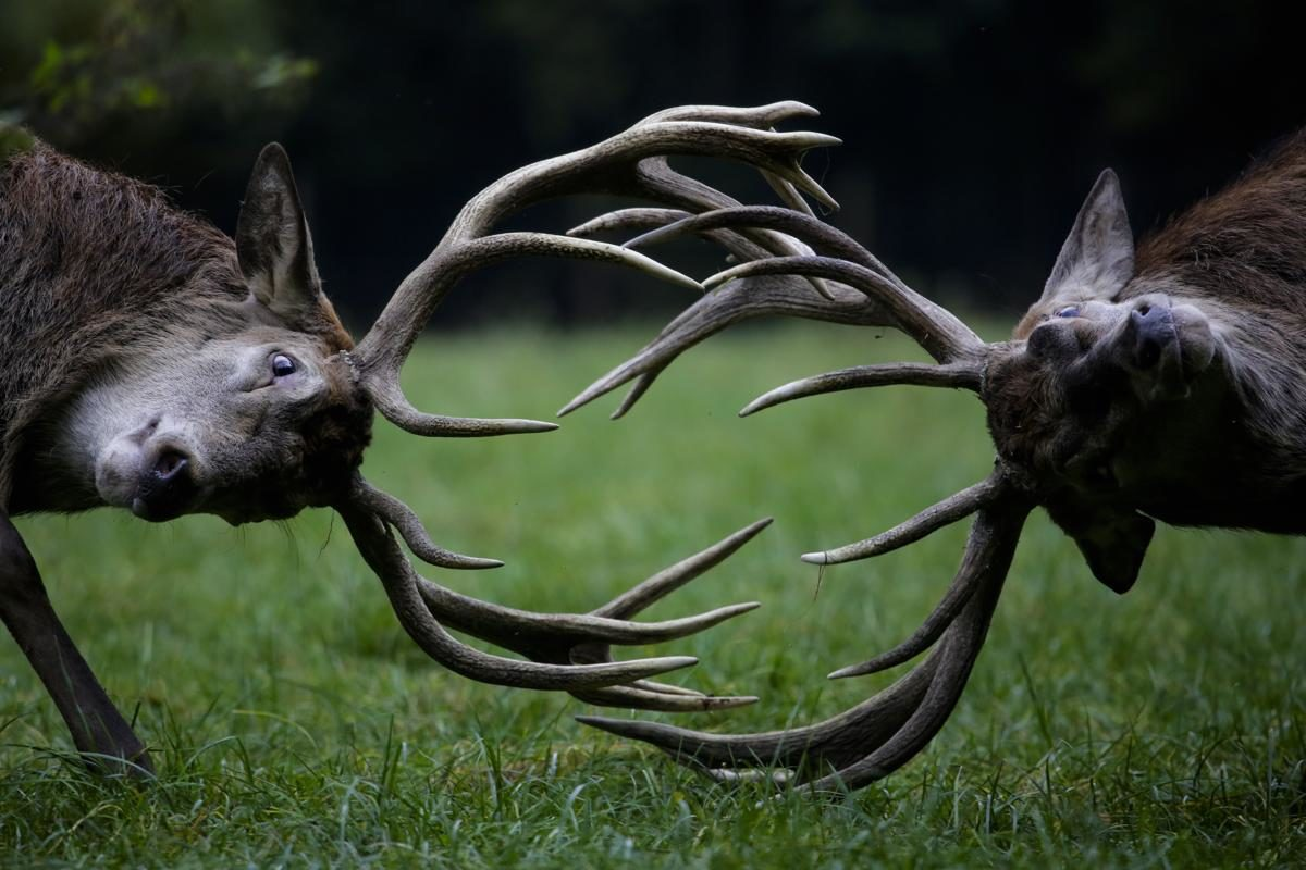 Combat de Cerf, Bonn, Allemagne - © Markus Schreiber/Associated Press