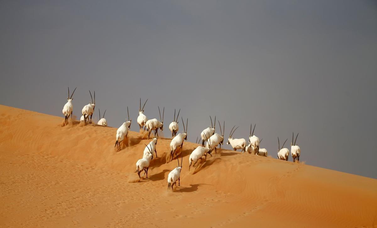 Oryx dans le désert, Umm Al-Zamool, Emirats Arabes Unis - © Karim Sahib/AFP/Getty Images