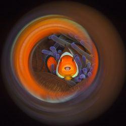 Clownfish Swirl - © Luc Rooman/UPY 2017