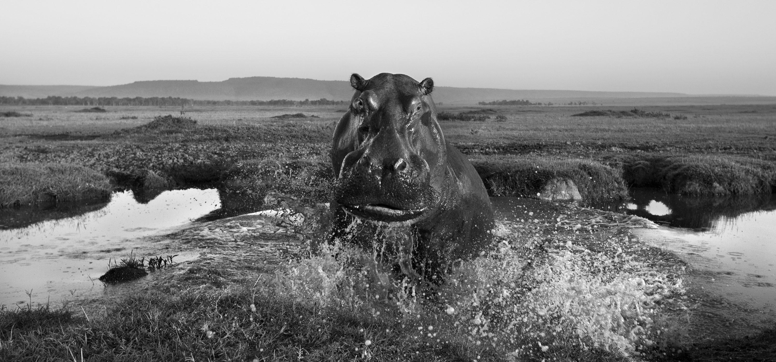 Hippopotamus charging