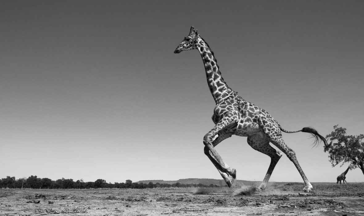 Maasai giraffe running away startled