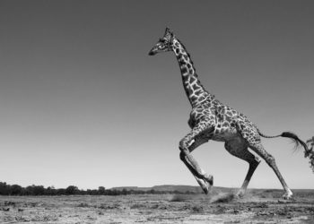 Maasai giraffe running away startled