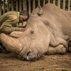ami-vitale-last-male-northern-white-rhino-2