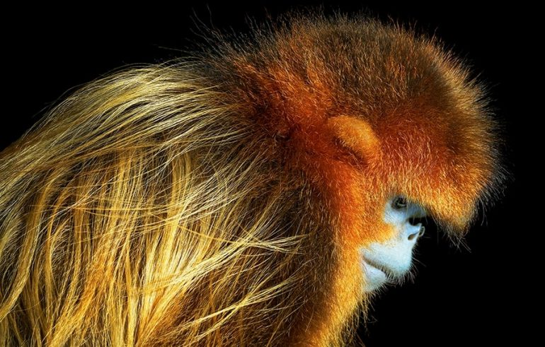 Golden Snub Nosed Monkey Female Side Portrait