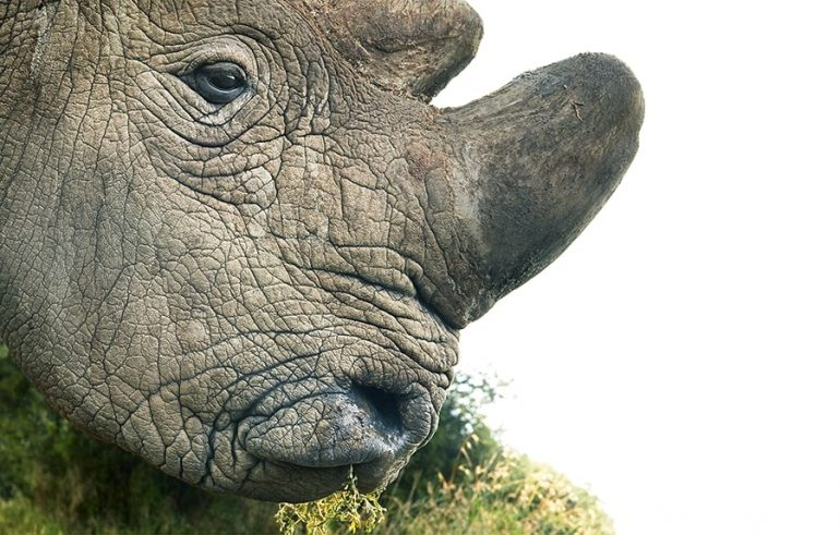 Northern White Rhinoceros Closeup Portrait
