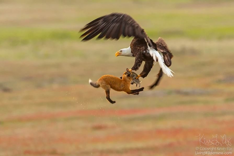 eagleandfox (3)