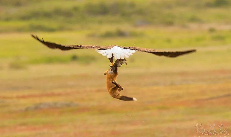 eagleandfox (4)