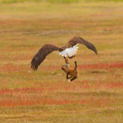 eagleandfox (6)