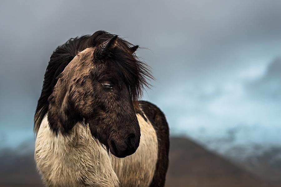 Hestur, cheval en terre d'Islande par Samy Berkani