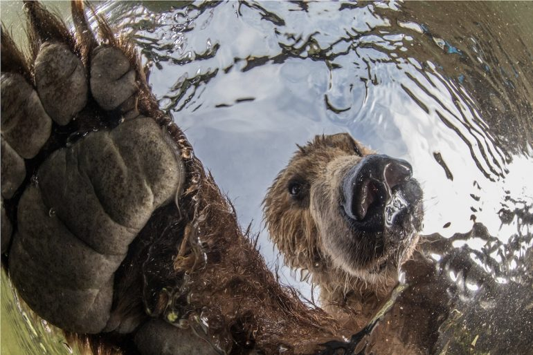 Les gagnants du BigPicture Natural World Big-Picture-Natural-World-Photo-Contest-1-Korostelev-Curious-Bear-770x514