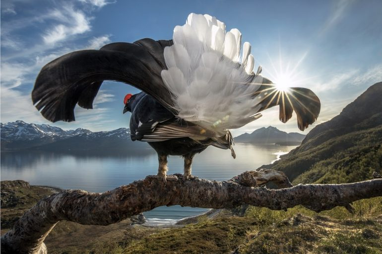 Les gagnants du BigPicture Natural World Big-Picture-Natural-World-Photo-Contest-1-Rikardsen-Black-Grouse-770x511