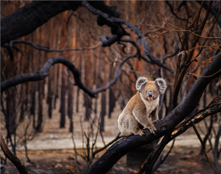 Les gagnants du BigPicture Natural World Big-Picture-Natural-World-Photo-Contest-9-Fletcher-Koala-770x605