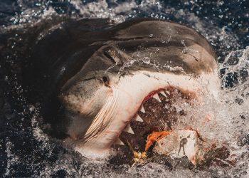Euanart-Jaws-Shark-Photo-2