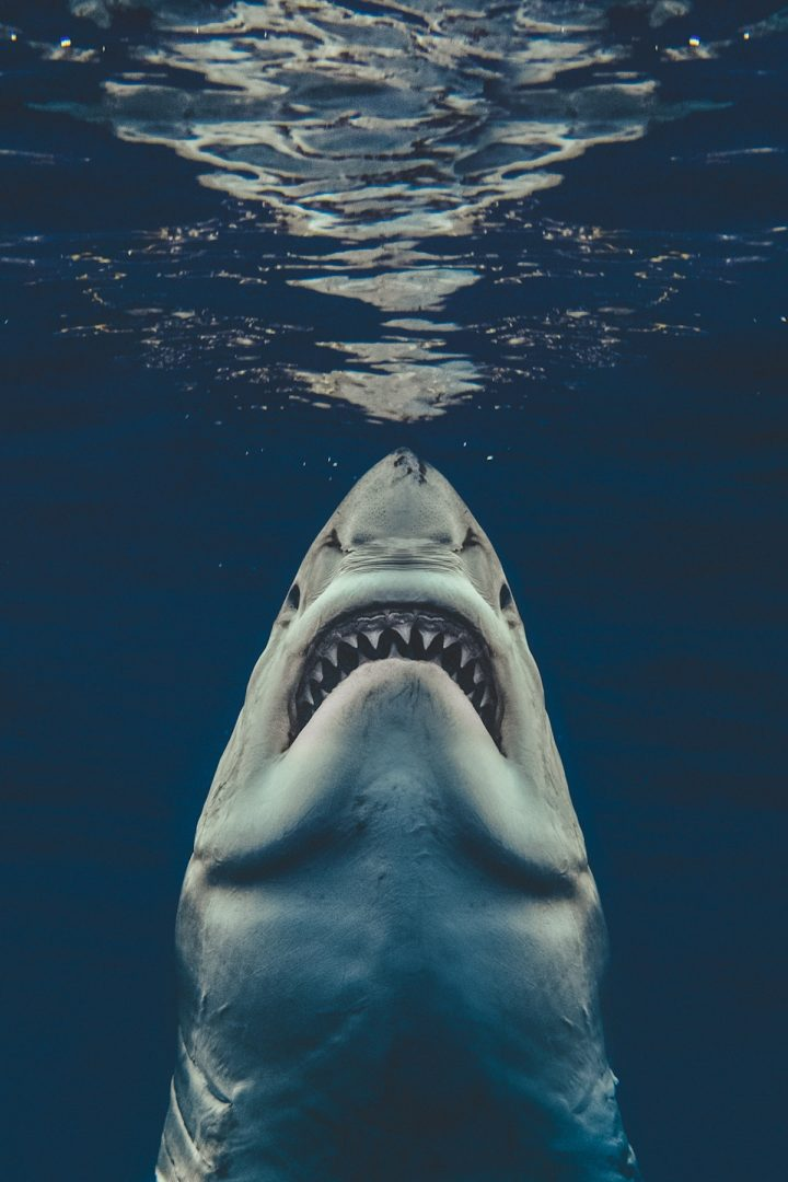Euanart-Jaws-Shark-Photo-5