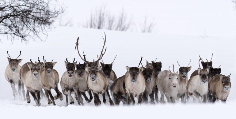 Horde sauvage dans l'enclos des jeunes rennes chez Per-Nils