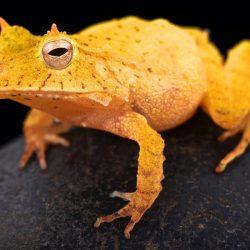 matthijs-kuijpers-cold-instinct-Ceratobatrachus-guentheri-