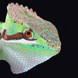 matthijs-kuijpers-cold-instinct-Laemanctus-serratus-