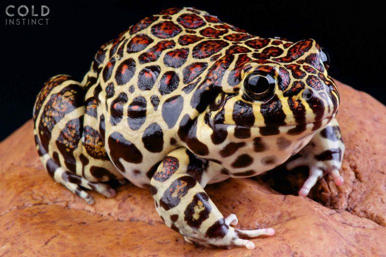matthijs-kuijpers-cold-instinct-Leptodactylus-laticeps
