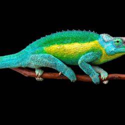 matthijs-kuijpers-cold-instinct-Trioceros-jacksonii-jacksonii-