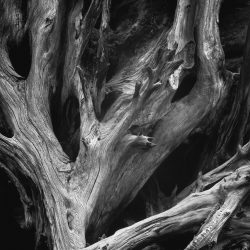 Ansel-Adams-Sequoia-Roots