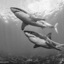chris-fallows-shark-photography-1-1024x730