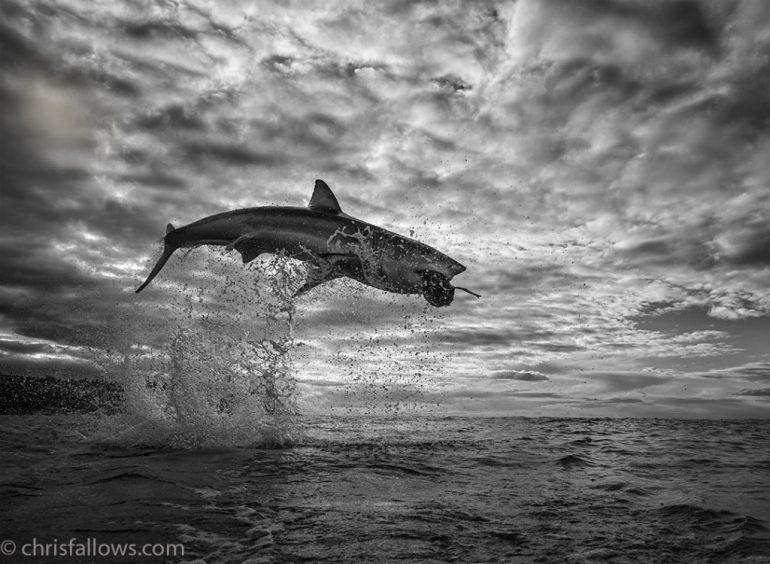 chris-fallows-shark-photography-2-1024x750