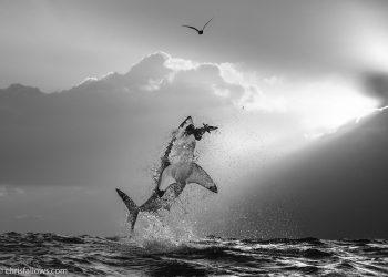 chris-fallows-shark-photography-3