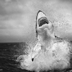 chris-fallows-shark-photography-4