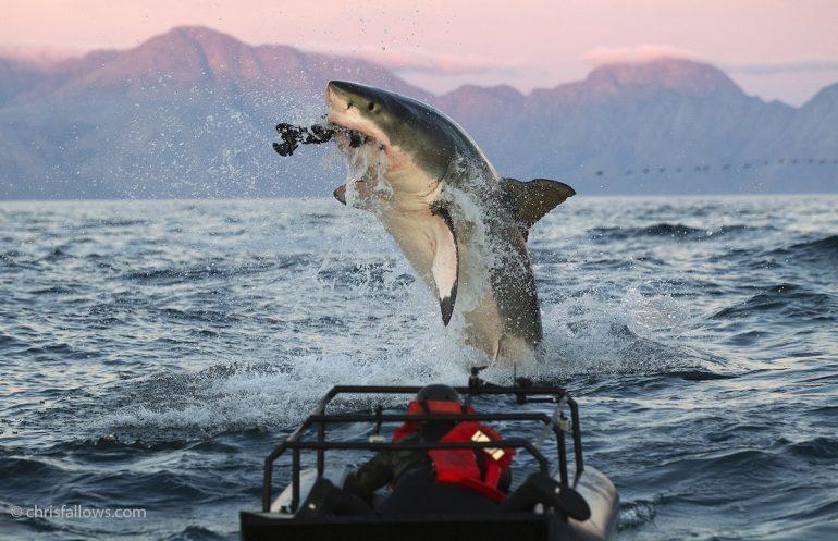 chris-fallows-shark-photography-5