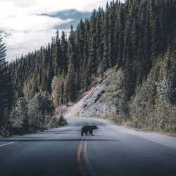 Bear-crossing-by-blakehobson-Canada-5fabf552b6e9c__880