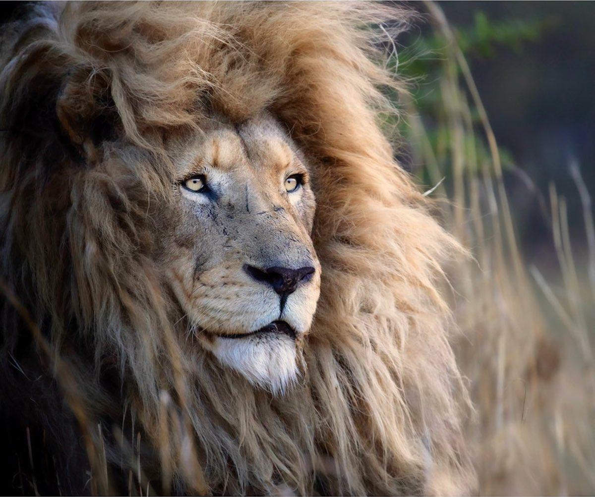 Simon Needham sensibilise à la protection des lions avec des portraits stupéfiants | Lense