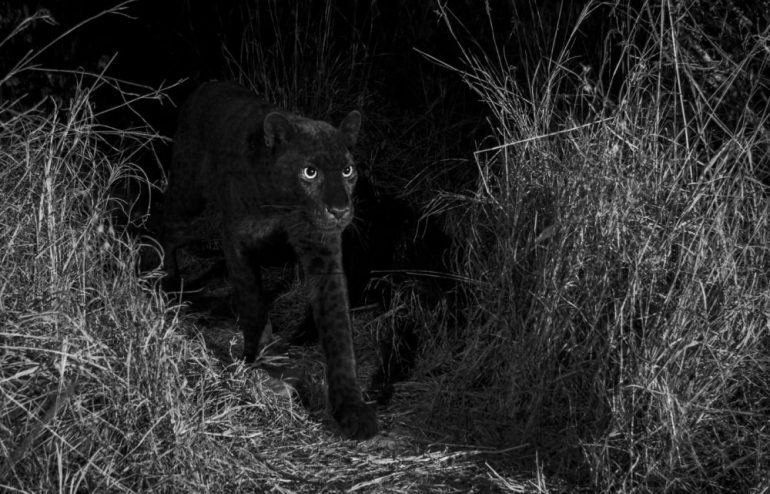 From-The-Black-Leopard_image-copyright-Will-Burrard-Lucas_156-157-1000x641