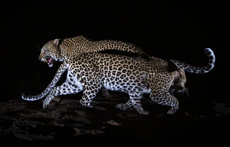 From-The-Black-Leopard_image-copyright-Will-Burrard-Lucas_174-175