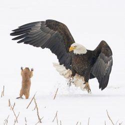 Comedy-Wildlife-Awards-Arthur-Trevino-Bald-Eagle-Gets-A-Surprise-00001119