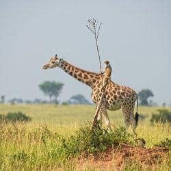 Comedy-Wildlife-Awards-Dirk-Jan-Steehouwer-Monkey-riding-a-giraffe-1024x683