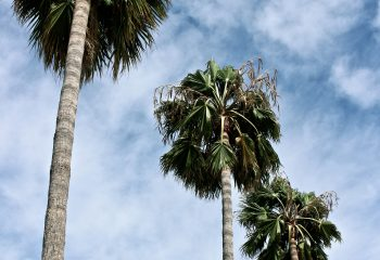 Palm Trees II
