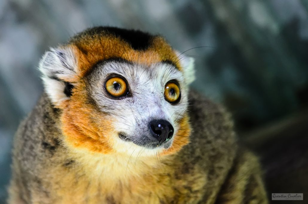 Crowned Lemur 2