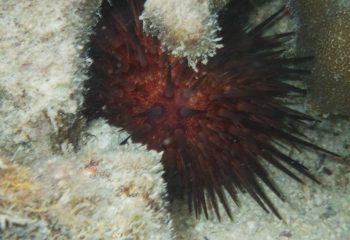 Globule de corail