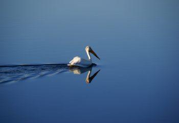 Grand Teton National Park - Pelican