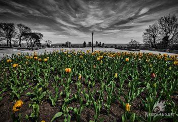 Les tulipes du Mont-Royal