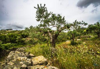 Au milieu des olivier