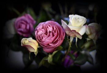 Roses de mon jardin.