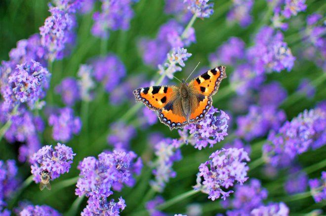 papillon sur fleurs de lavande