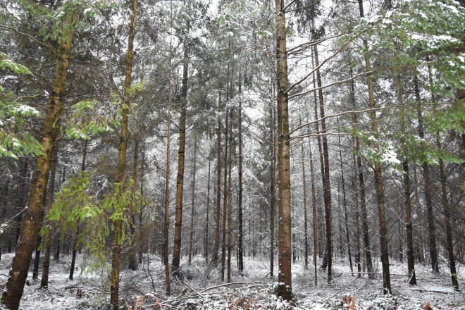 Forêt de Lyons sous la neige