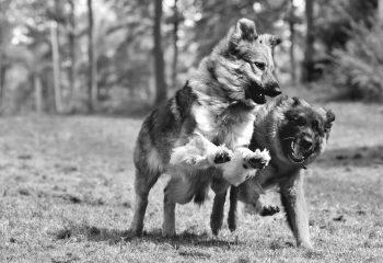 Pote Dog !