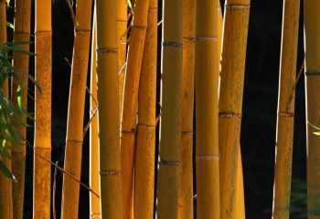 Philippe MERIGOT - ARBRES - Bambou